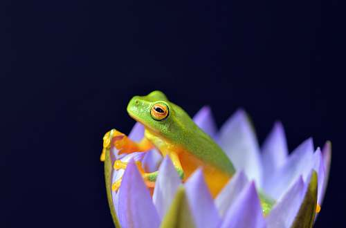 photo frog selected focus photo of green and yellow frog in purple petaled flower amphibian free for commercial use images
