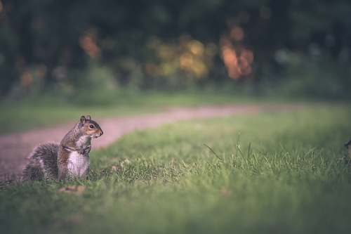squirrel selective focus of gray squirrel on green grass field rodent