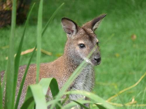 mammal selective focus photo of brown animal standing on grass field kangaroo