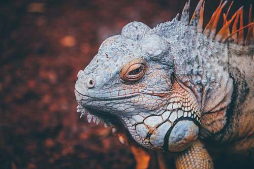 lizard selective focus photo of gray and brown reptile iguana