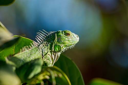 iguana selective focus photo of green iguana lizard