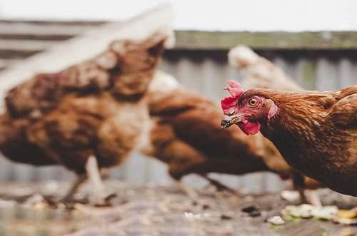 bird selective-focus photograph of brown hen chicken