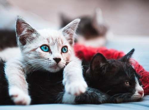 cat selective focus photography brown cat lying over black cat kitten