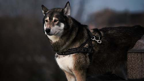 dog selective focus photography of black and white wolf with black dog leash husky