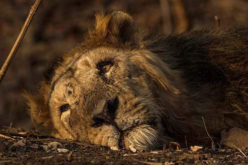 mammal selective focus photography of brown lion lion