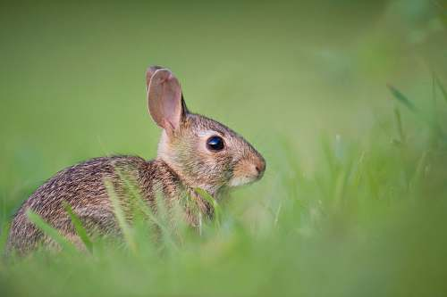 rabbit selective focus photography of brown rodent on green gras bunny