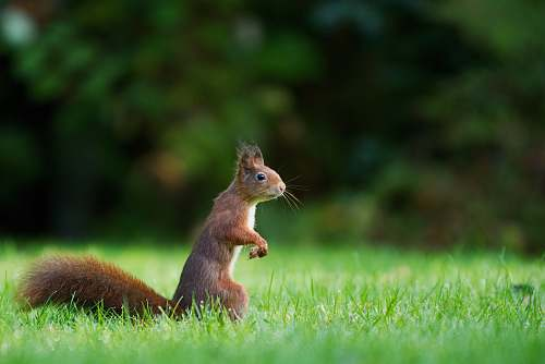 squirrel selective focus photography of brown squirrel standing on green grass during daytime rodent