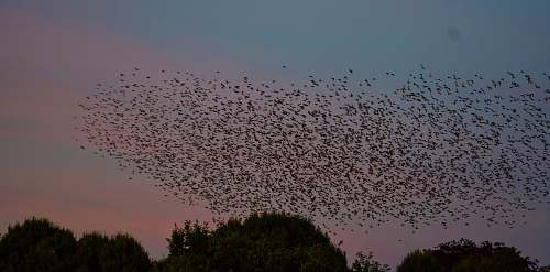 photo flock selective focus photography of flock of bird flying on sky during sunset grey free for commercial use images