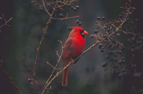 bird selective focus photography of red cardinal on tree cardinal