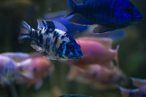 photo aquatic selective focus photography of two blue fish water free for commercial use images