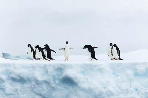 bird seven black-and-white penguins penguin