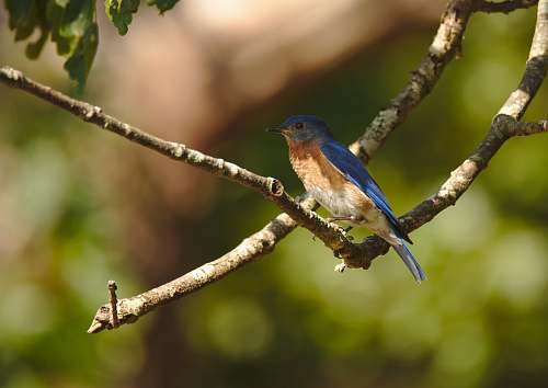 photo bird shallow focus photo of blue and brown bird bluebird free for commercial use images