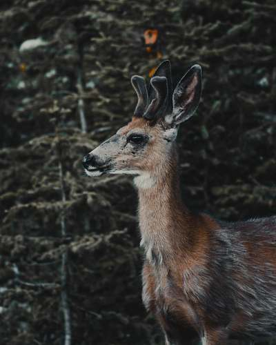 mammal shallow focus photo of brown deer kangaroo