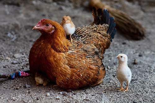 bird shallow focus photo of brown hen chicken