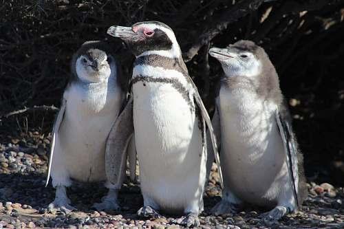bird shallow focus photo of penguins penguin