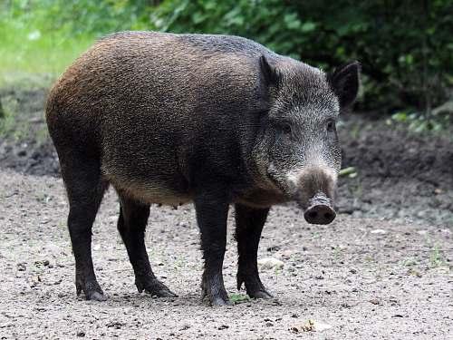 mammal shallow focus photo of pig pig