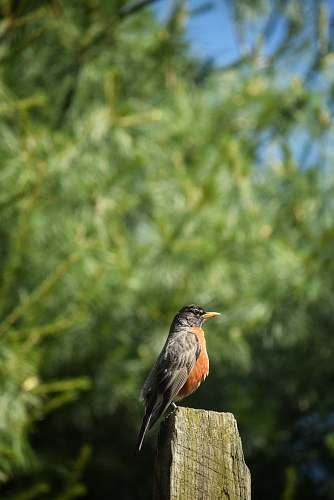 bird shallow focus photography of brown and black bird robin