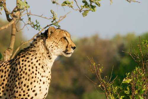 mammal shallow focus photography of brown and black cheetah cheetah
