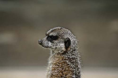 mammal shallow focus photography of gray and black animal meerkat