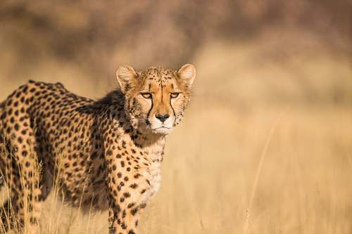 mammal shallow focus photography of leopard cheetah