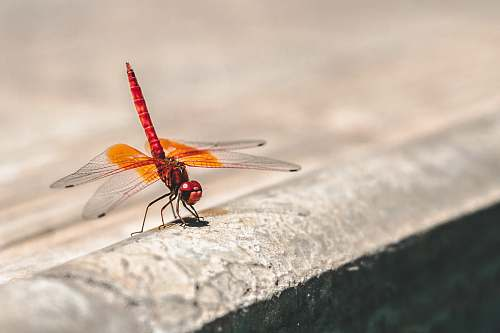 photo dragonfly shallow focus photography of red and orange dragonfly insect free for commercial use images