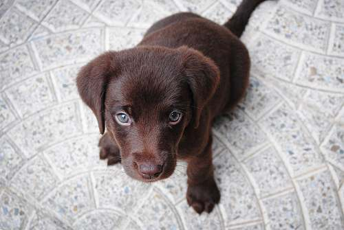 dog short-coated brown puppy on white floor pet