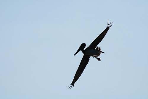 bird silhouette of flying pelican flying