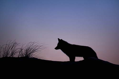 silhouette silhouette of wolf standing on ground wolf