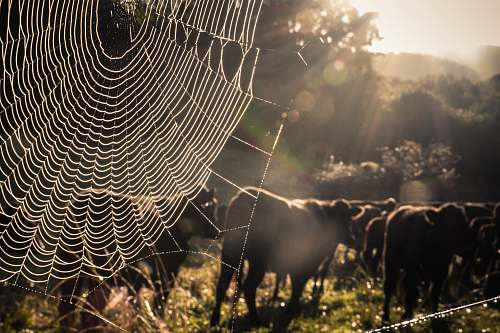cattle spider web cow