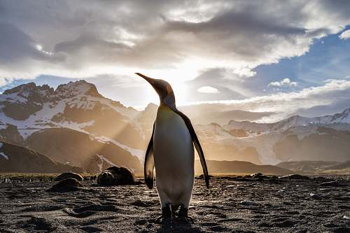 photo bird standing penguin on sand near snow covered mountain covering the sun from view at daytime penguin free for commercial use images