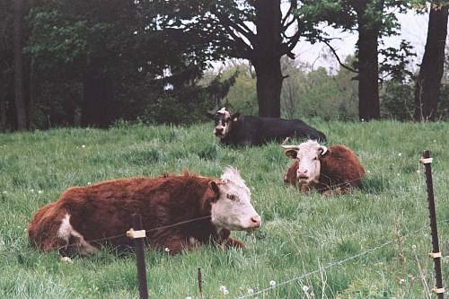 cattle three brown and black cattles on grass field beside trees cow