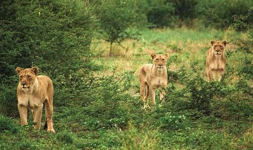 mammal three cougars lion