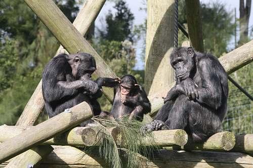 ape three grey monkey close-up photography mammal
