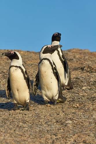 bird three white penguins on brown surface penguin