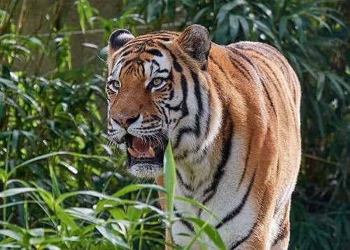 mammal tiger beside plants tiger