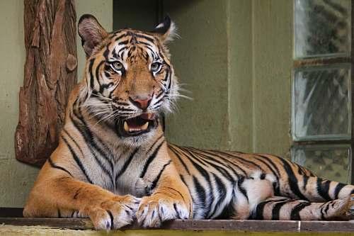 mammal Tiger lying on wooden platform tiger