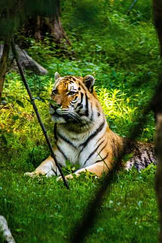 wildlife tiger resting on green grass tiger