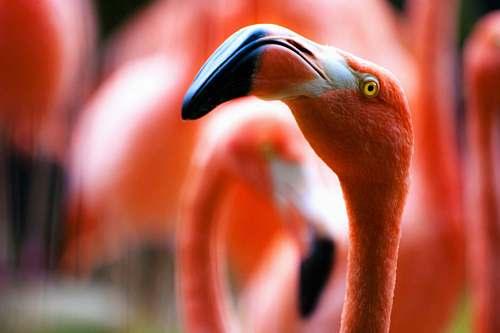 photo bird tilt shift lens photography of flamingo bird beak free for commercial use images