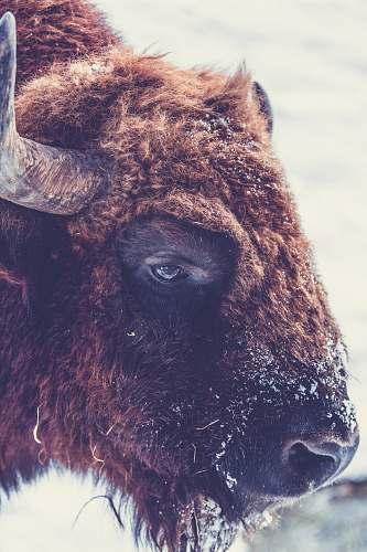 bison tilt-shift lens photography of ram buffalo