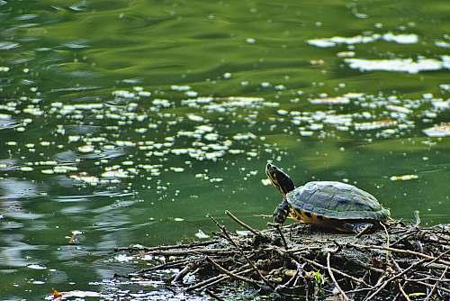 reptile turtle on twigs beside water sea life