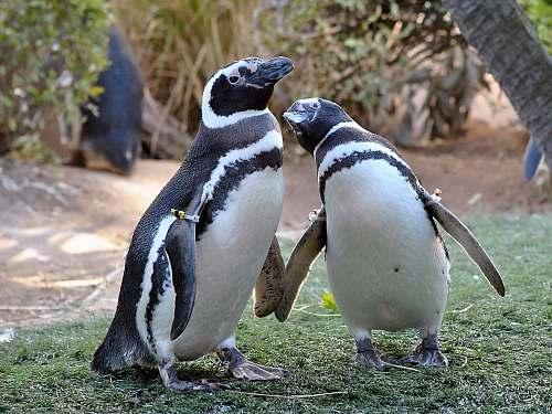 bird two black-and-white penguins penguin