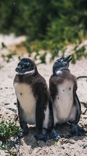 bird two black penguins penguin