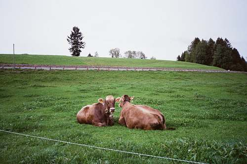 cow two brown cattle lying on green grass field cattle