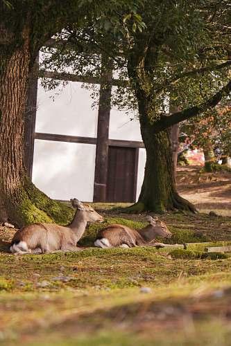 mammal two brown deer on green field kangaroo