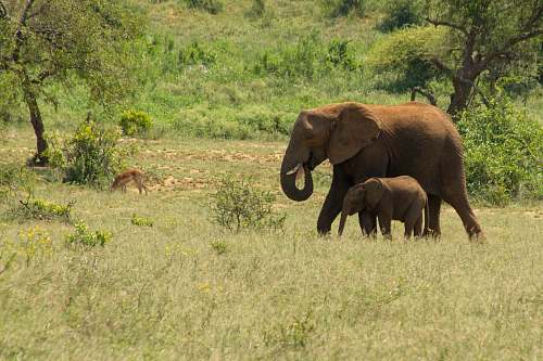 mammal two brown elephants on green field surrounded with tall and green trees elephant