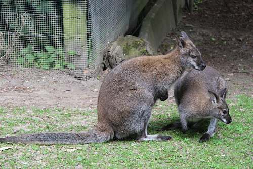 photo mammal two brown kangaroo on green grass wallaby free for commercial use images