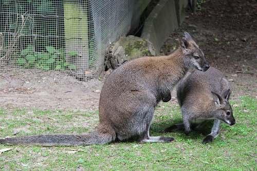 mammal two brown kangaroo on green grass wallaby