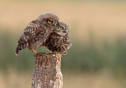 bird two brown owls perched on wooden post owl