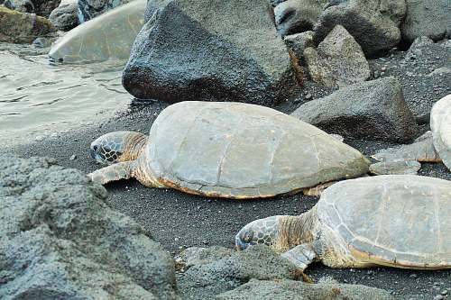 turtle two brown turtles near water reptile