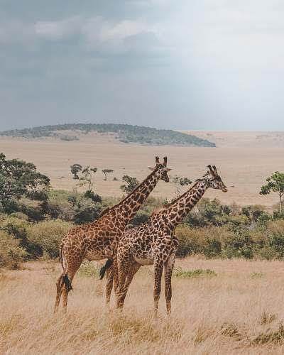 photo wildlife two giraffes standing on brown plants giraffe free for commercial use images